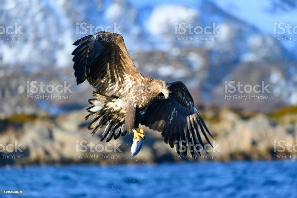 White-tailed eagle or sea eagle catching a fish in  a Fjord near Vesteralen island in Northern Norway stock photo