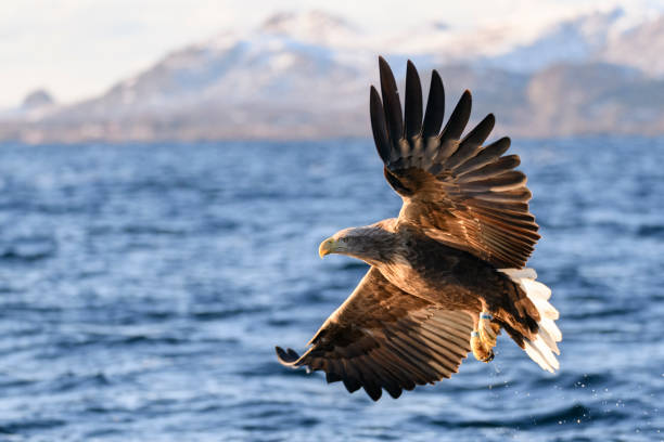 White-tailed eagle or sea eagle fisihing in a Fjord in Northern Norway White-tailed eagle or sea eagle (Haliaeetus albicilla) hunting in the sky over a Fjord near Vesteralen island in Northern Norway. lofoten stock pictures, royalty-free photos & images