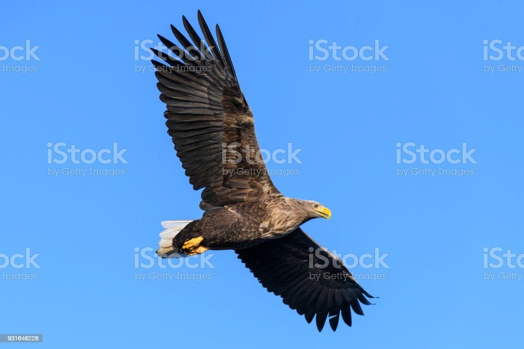 White-tailed eagle of zeearenden jacht in de hemel over Noord-Noorwegen​​​ foto