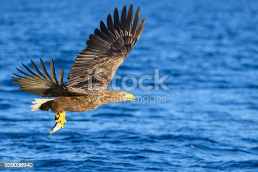 White-tailed eagle or sea eagle hunting in the sky over a Fjord near Vesteralen island in Northern Norway.