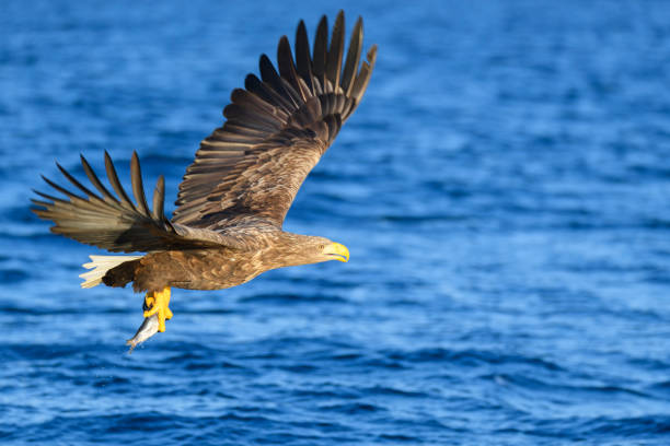 White-tailed eagle or sea eagle hunting in the sky over Northern Norway stock photo