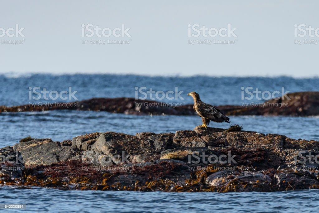 White-tailed eagle or sea eagle sitting on a rock in the sea in Norway stock photo