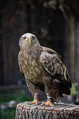White-tailed eagle looking into the camera
