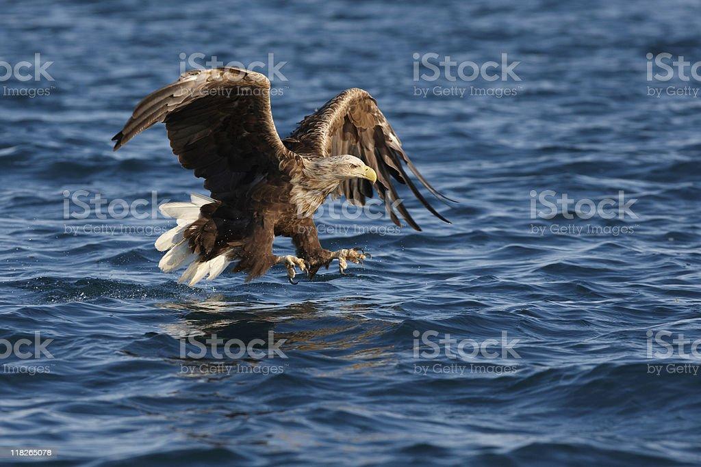 White-tailed Eagle (Haliaeetus albicilla) stock photo