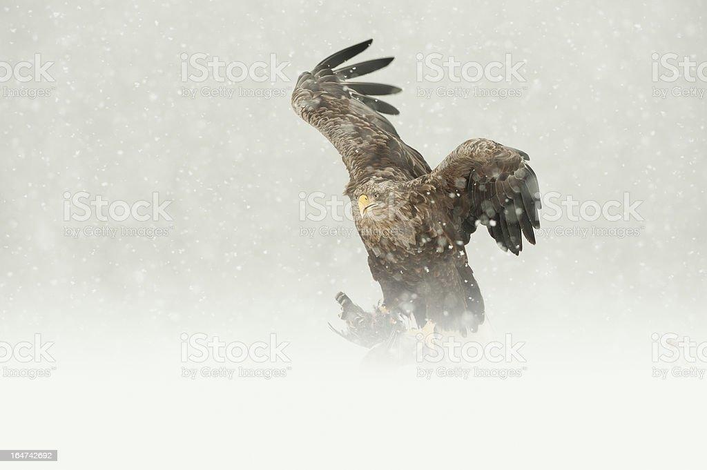 White-tailed Eagle royalty-free stock photo