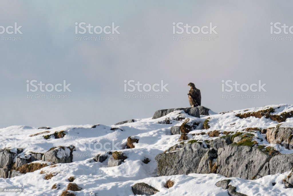 White-tailed eagle sitting on a rock in the sea in Norway stock photo