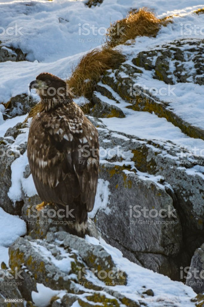 White-tailed eagle sitting on a rock in winter in Norway stock photo