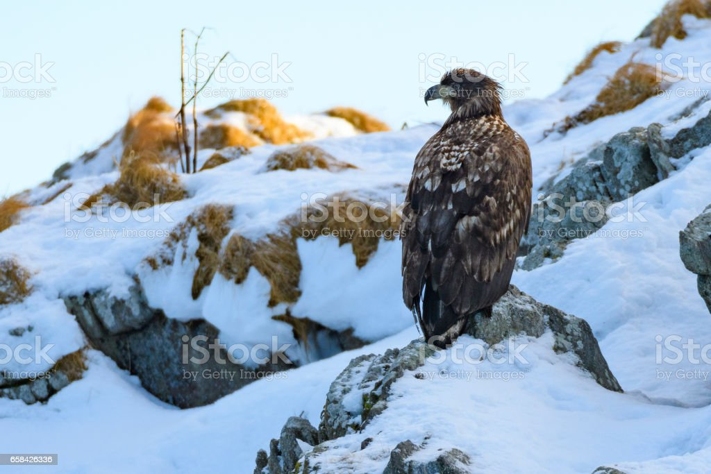 White-tailed eagle sitting on a snowy rock in Norway stock photo