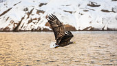 A White-tailed eagle, Svolvaer, Lofoten Islands, Northern Norway.