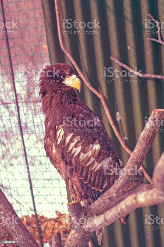 White-tailed eagle, the beautiful, large bird of prey. bright, strong bird. zbiór zdjęć royalty-free