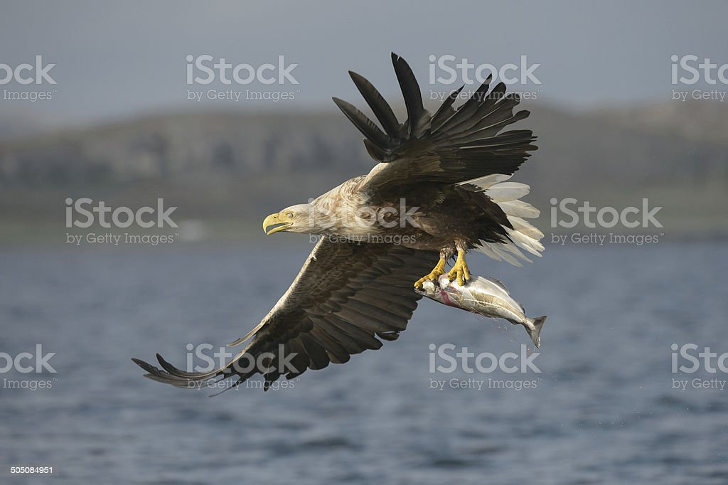 White-tailed Eagle with catch. stock photo