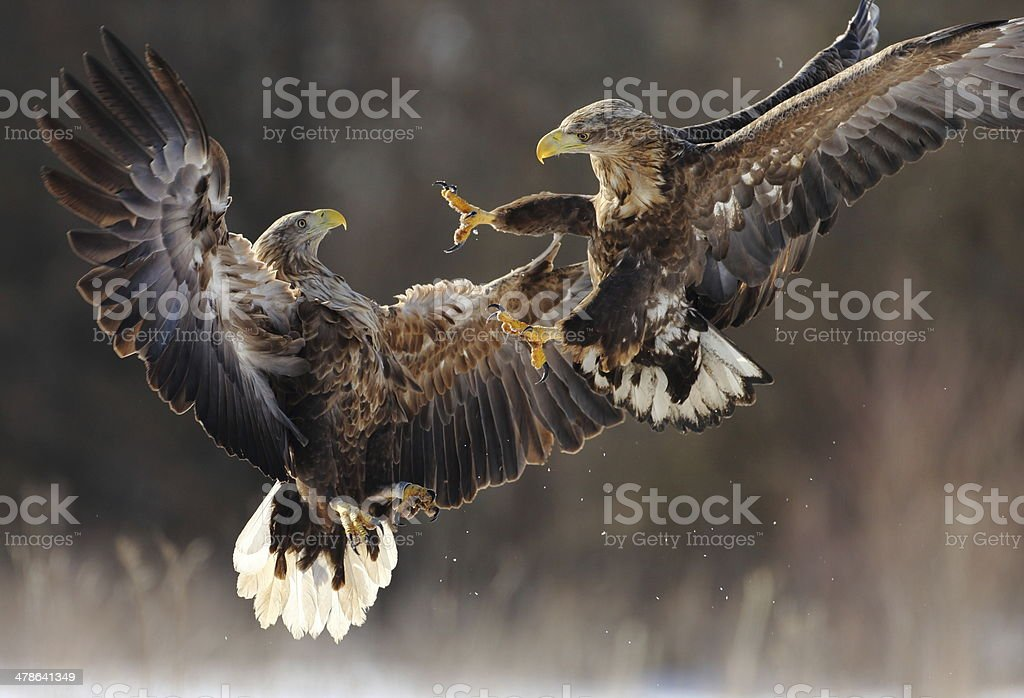 White-tailed Eagles fighting stock photo
