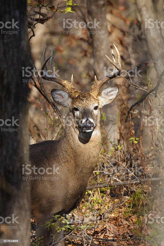 White-tailed eight-point buck in woods stock photo