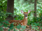 A white-tailed (whitetail) deer fawn hiding in the woods, looking straight at the camera. The photo was taken in Iowa (U.S. Midwest).