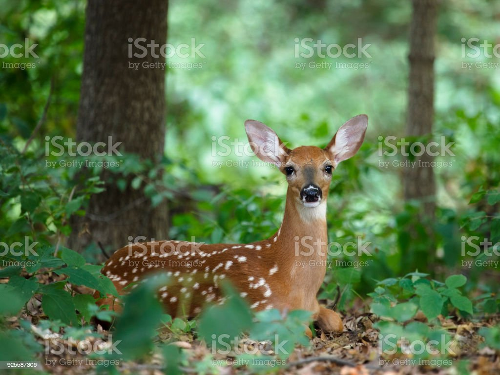 A white-tailed fawn stock photo