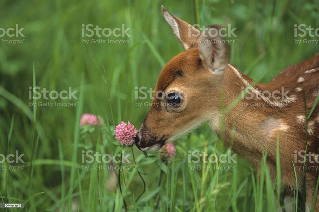 White-tailed Fawn Sniffing Clover royalty-free stock photo
