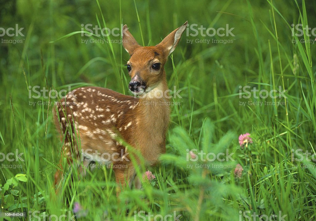 White-tailed fawn standing in lush meadow stock photo