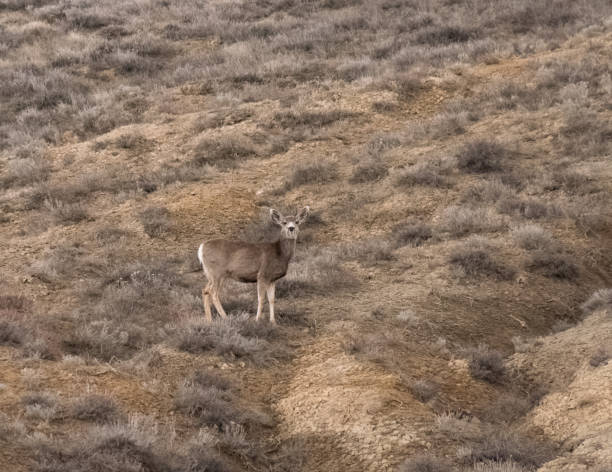 White-tailed female deer on scrub covered hill stock photo