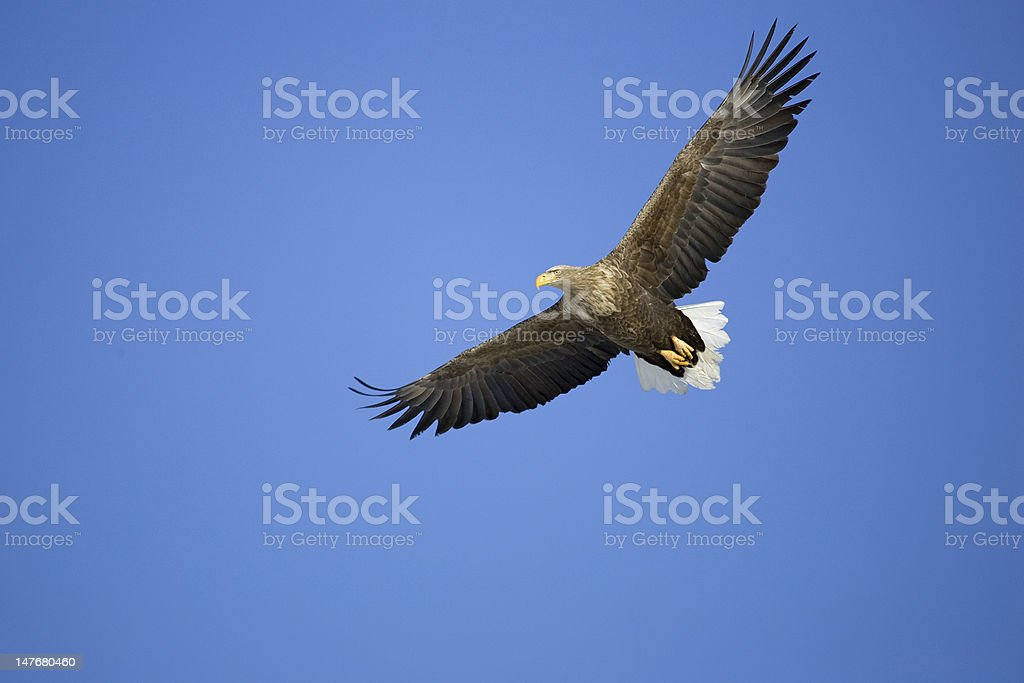 White-tailed Fish Eagle in flight Japan stock photo