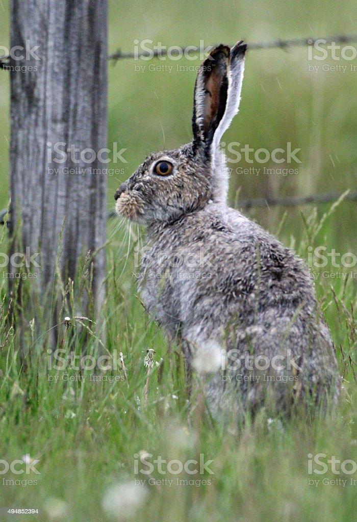 whitetailed Jackrabbit and fence stock photo