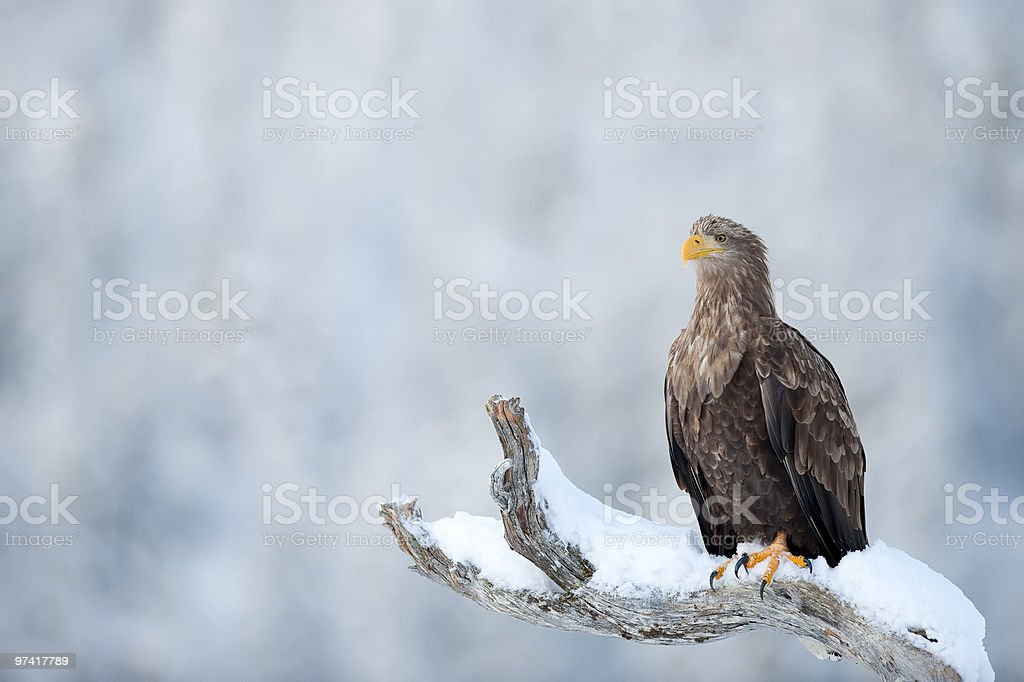 White-Tailed Sea Eagle in the wild royalty-free stock photo