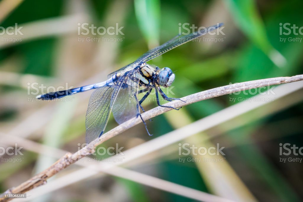 White-Tailed Skimmer (Side) stock photo