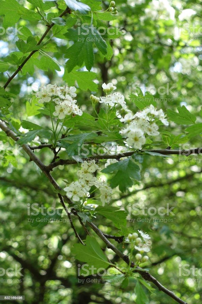 Whitethorn in full bloom in late spring stock photo