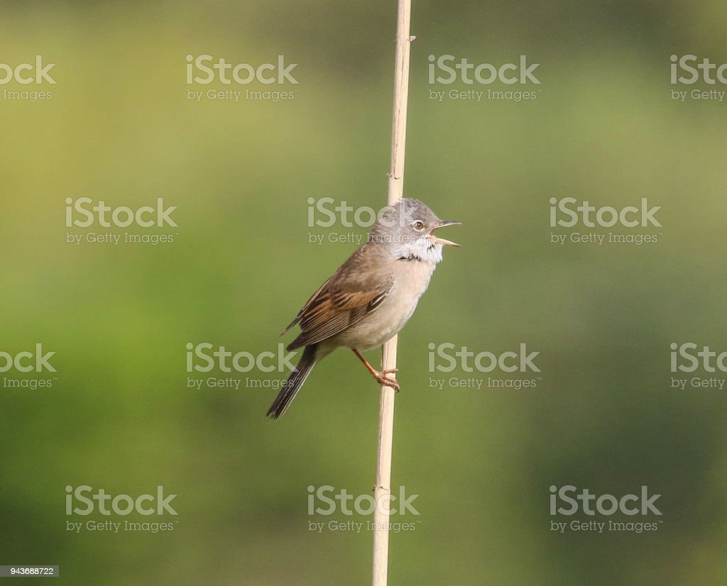Whitethroat Perching at Titchfield Canal Path Hampshire stock photo