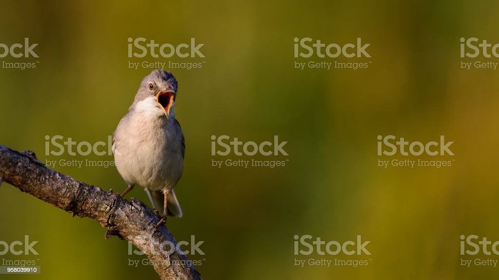 Whitethroat sits on a stick on a beautiful background and shouts Whitethroat sits on a stick on a beautiful background and shouts. Animal Stock Photo