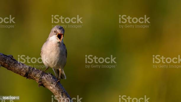 Whitethroat Sits On A Stick On A Beautiful Background And Shouts Stock Photo - Download Image Now