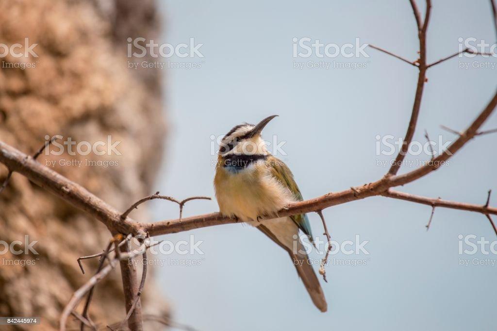 White-Throated Bee-eater (Merops albicollis) stock photo