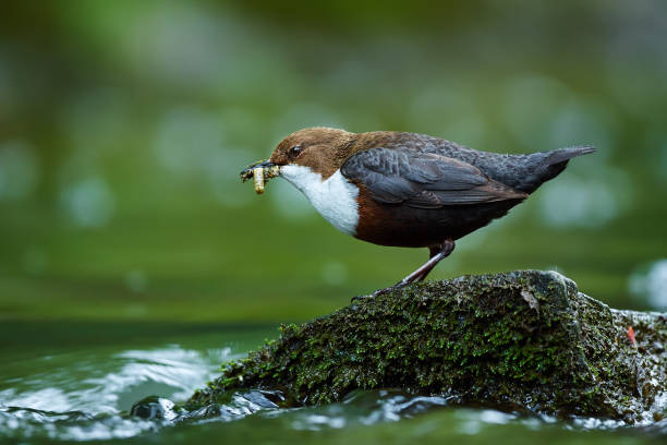 White-throated Dipper, Cinclus cinclus,with food in the bill, nesting time. A bird that can swim. Animal behavior in the nature habitat. Wildlife scene from Czech Republic. stock photo