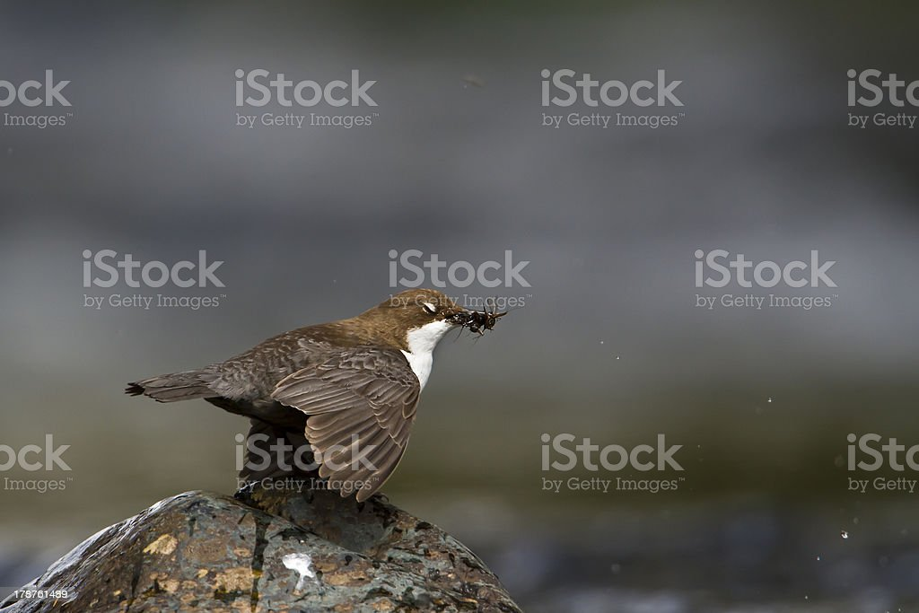 White-throated Dipper river bird (Cinclus-cinclus) royalty-free stock photo