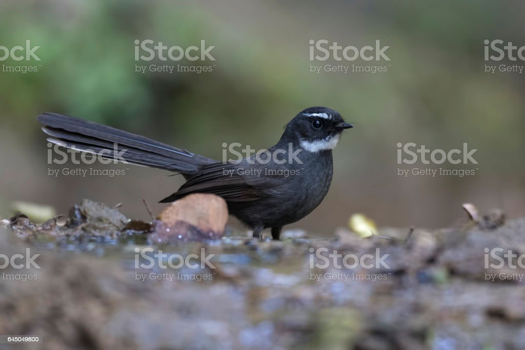 2f8128102cd White-throated fantail royalty-free stock photo