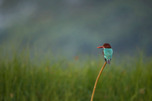 White-throated Kingfisher on perch in winter morning stock photo