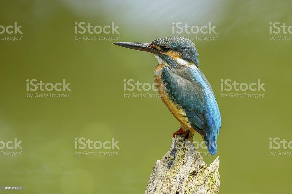 White-throated Kingfisher royalty-free stock photo
