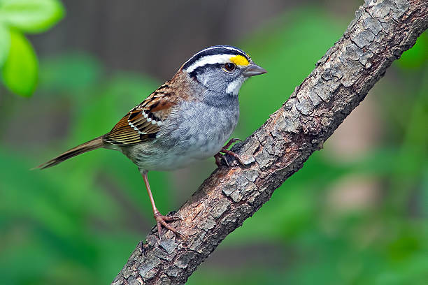 White-throated Sparrow stock photo
