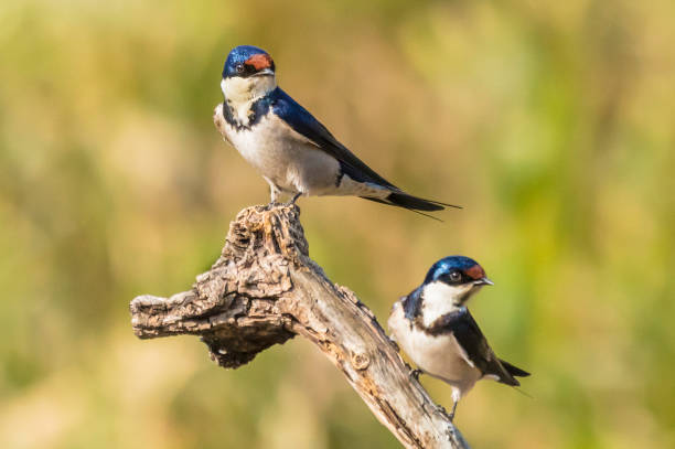 white-throated swallow (hirundu albigularis) - rondine foto e immagini stock