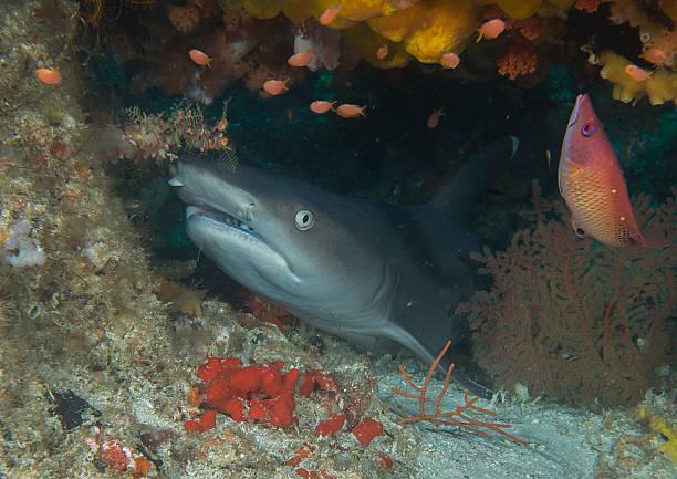 Weißspitzenhai – Foto
