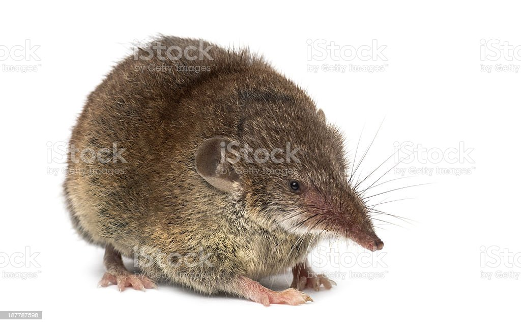 White-toothed shrew, isolated on white stock photo