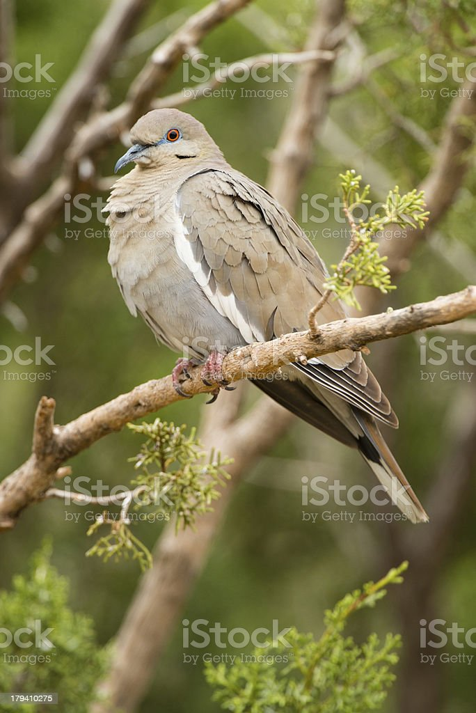 Whitewing Dove royalty-free stock photo
