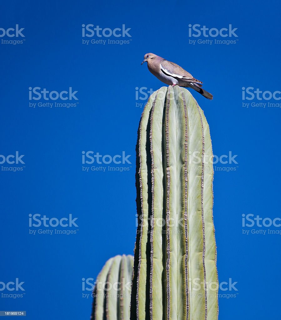 White-winged Dove (Zenaida asiatica) on Giant Cardon Cactus, Mexico royalty-free stock photo