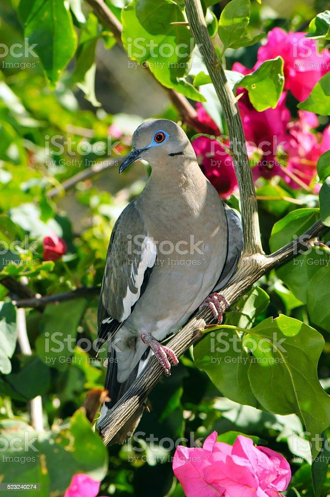 White-winged dove (Zenaida asiatica) stock photo