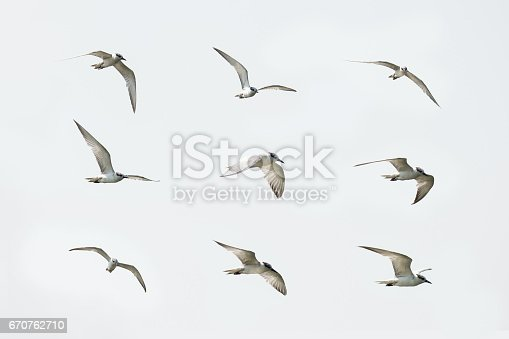 White-winged Tern, Small seagull in flying action