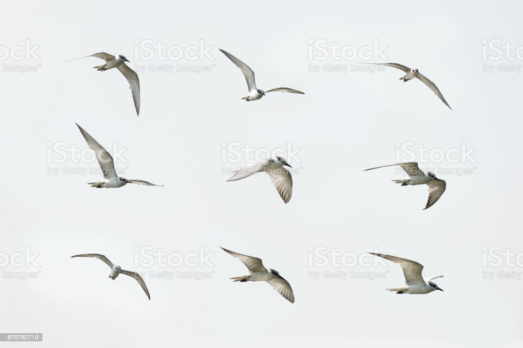 White-winged Tern, Small seagull in flying action stock photo