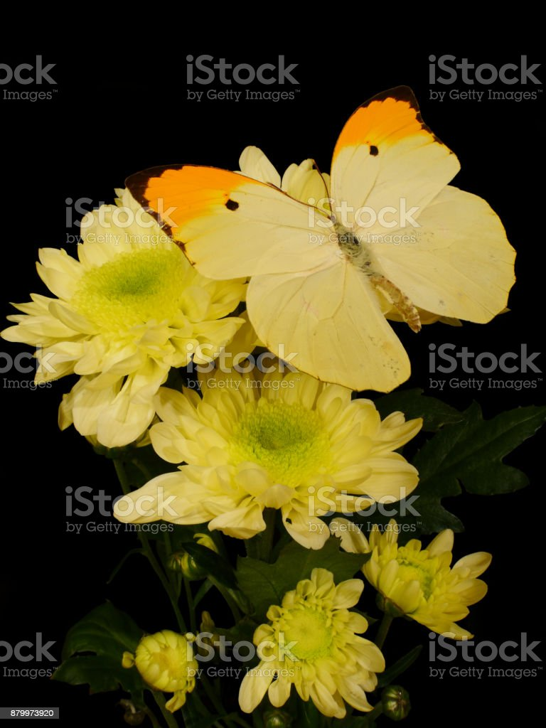 Whiteyellow Antheos Menippe Butterfly On Yellow Aster Flowers Stock