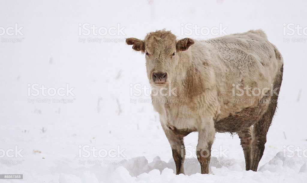 Whitish brownish cow in snowy field royaltyfri bildbanksbilder