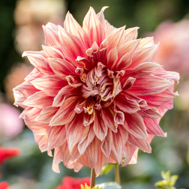 Whitish Pink Dahlia blooming flower