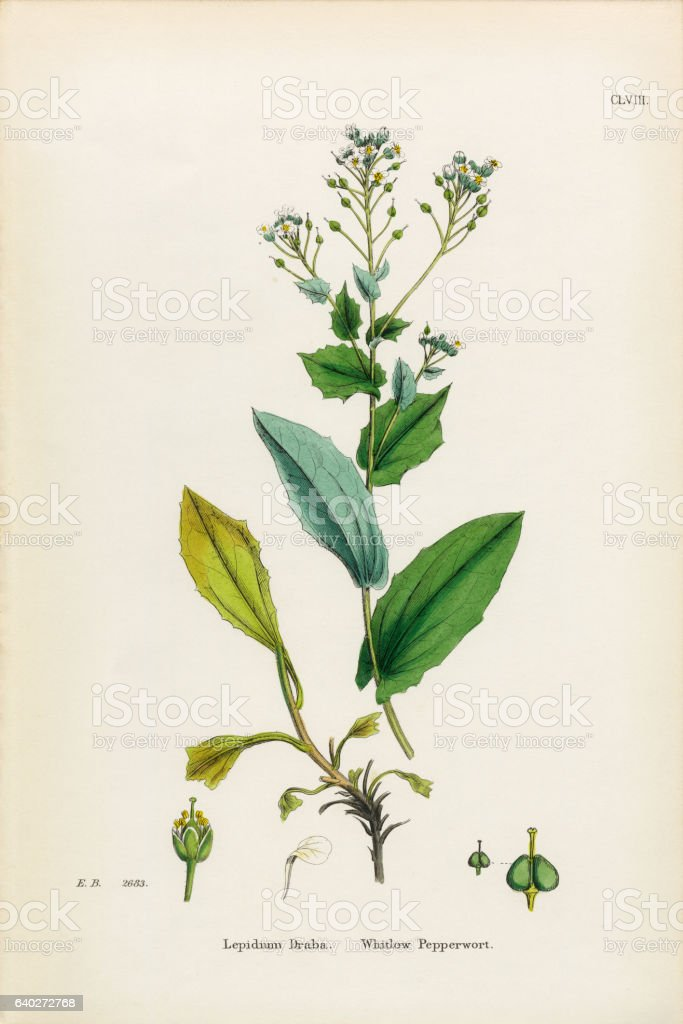 Whitlow Pepperwort, Lepidium Draba, Victorian Botanical Illustration, 1863 stock photo