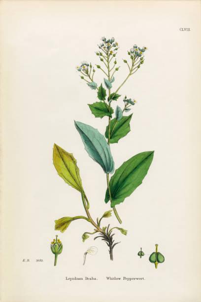 whitlow pepperwort, lepidium draba, victorian botanical illustration, 1863 - botanique photos et images de collection